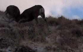 VIDEO—Mule deer engaged in animal combat