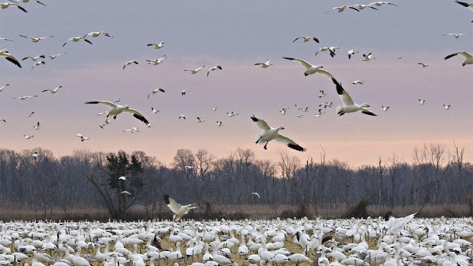 2,000 Snow Geese Dead In Idaho
