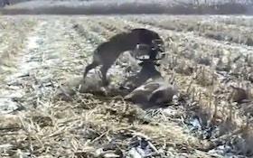 Tangled deer set loose by sharpshooter