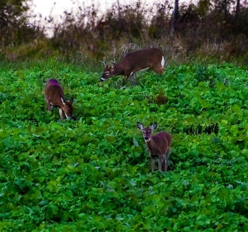 """On many evening sits overlooking a food plot, you'll need to exit without educating deer. Thankfully, the """"truck trick"""" works well, especially on younger whitetails. (Photo courtesy of Mossy Oak BioLogic Facebook.)"""