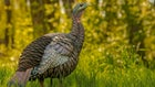3 Lifelike New Turkey Decoys for 2020