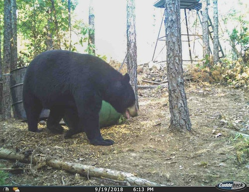The old bear nicknamed Batman was using the bait site regularly in the daytime leading up to the season opening date.