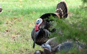 Successful spring turkey hunting