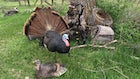 Bowhunting Turkeys: Carry Two Different Broadhead Types
