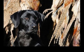 Training an Upland Retriever