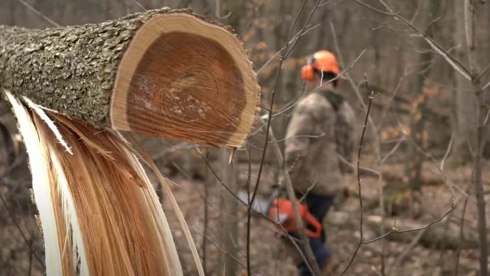 Habitat Improvement Video: Which Trees to Cut for Whitetails