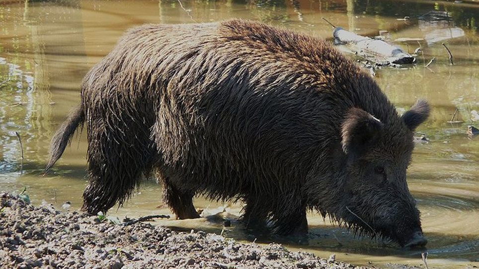 Radioactive Wild Pigs Run Wild Near Japan Plant