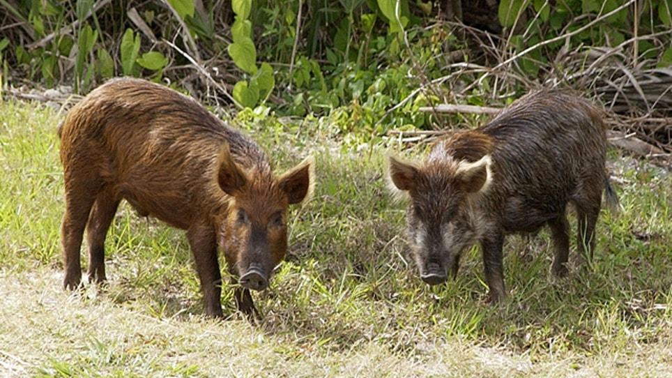 County Wants Them Dead, Extends Feral Pig Bounty