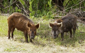 Wild pigs marching into Virginia