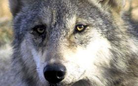 Officials: Utah Hunter Accidently Kills Gray Wolf