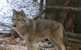 The Mystery of the Coywolf