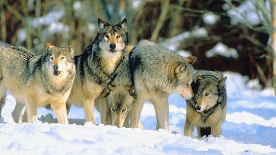 Judge Hears Arguments in Federal Wolf Case