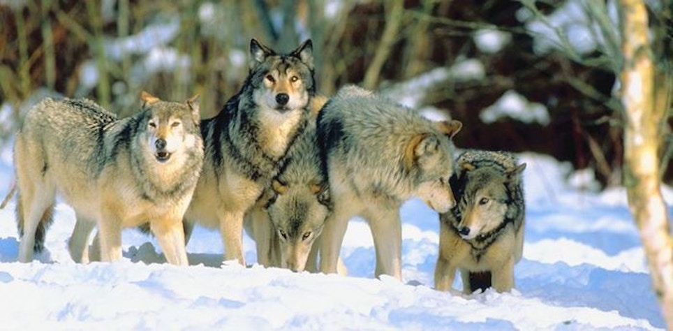 Colorado Voters: State Must Restore, Manage Wolves