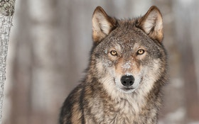 Washington Likely Has More Wolves Than Previously Believed