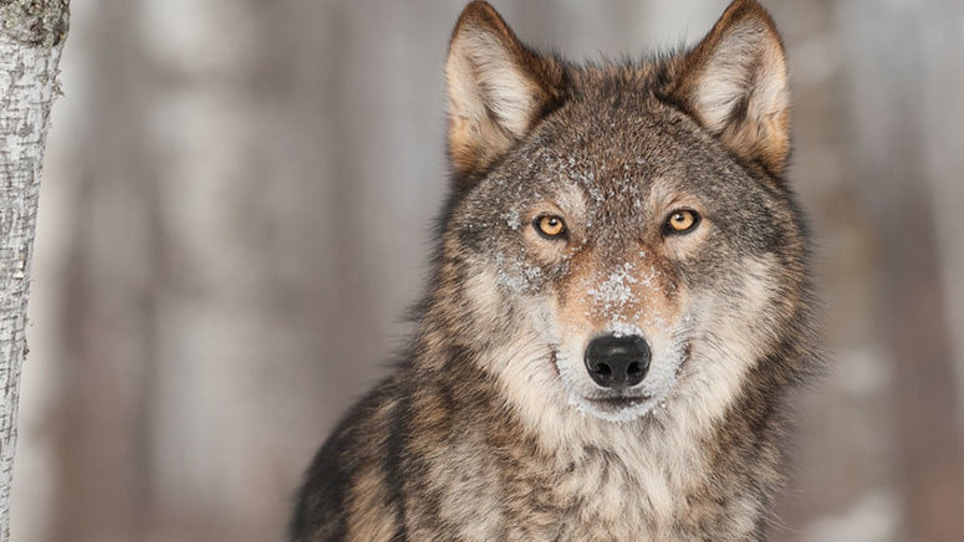 Wolves May Be Coming to Colorado