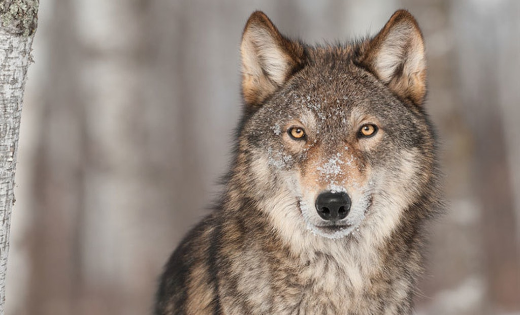 Feds Delist Gray Wolf, Return Management to States
