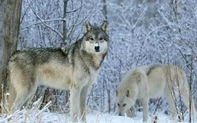 Top 10 wolf hunting tips from RMEF members