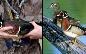 Hunting Wood Ducks