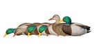Avian-X AXP Mallards and AXF Black Ducks Field Decoys