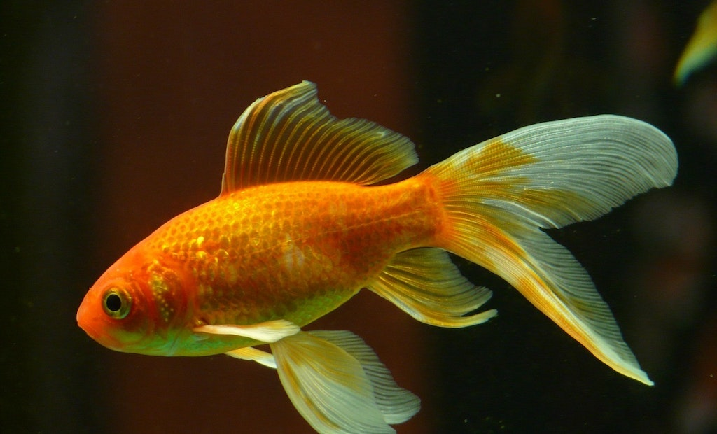 Pumper's Charity Rescues Flushed Goldfish