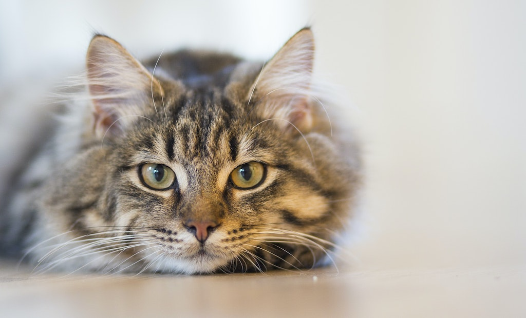 Cat Waste: To Flush or Not to Flush