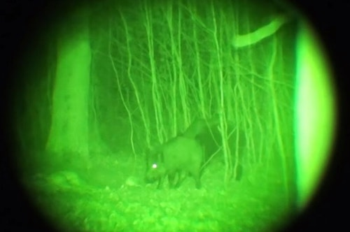 A feral hog is clearly visible thanks to the quality of Gen2 night vision optics. (Photo: Kevin Reese)