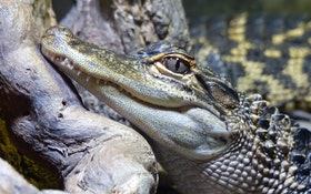 An Alligator Was Drawing Crowds at a Pennsylvania WWTP