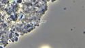 Bug of the Month: Nitrosomonas and Nitrification in WWTPs