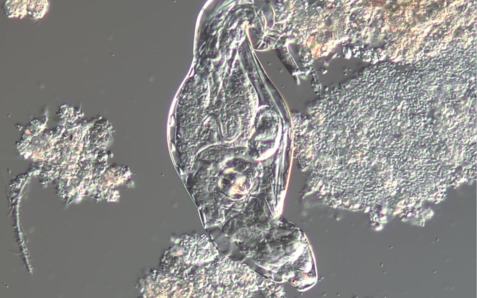 Bug of the Month: Rotifers, the Algal Predators of the WWTP Lagoon