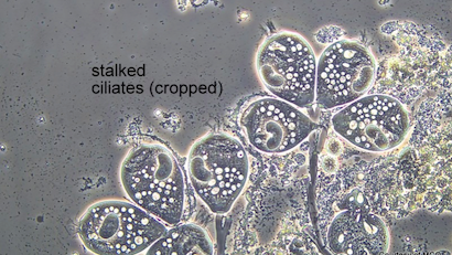 Bug of the Month: The Value of Monitoring Stalked Ciliates