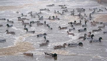 Ducks on the Ponds