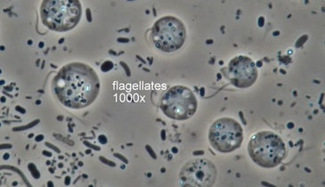 Bug of the Month: Abundant Flagellates Can Indicate a Stressed System​