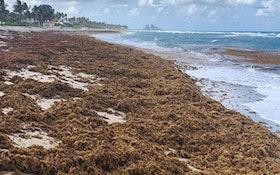 Surge in Nitrogen Has Turned Sargassum Into the World's Largest Algal Bloom