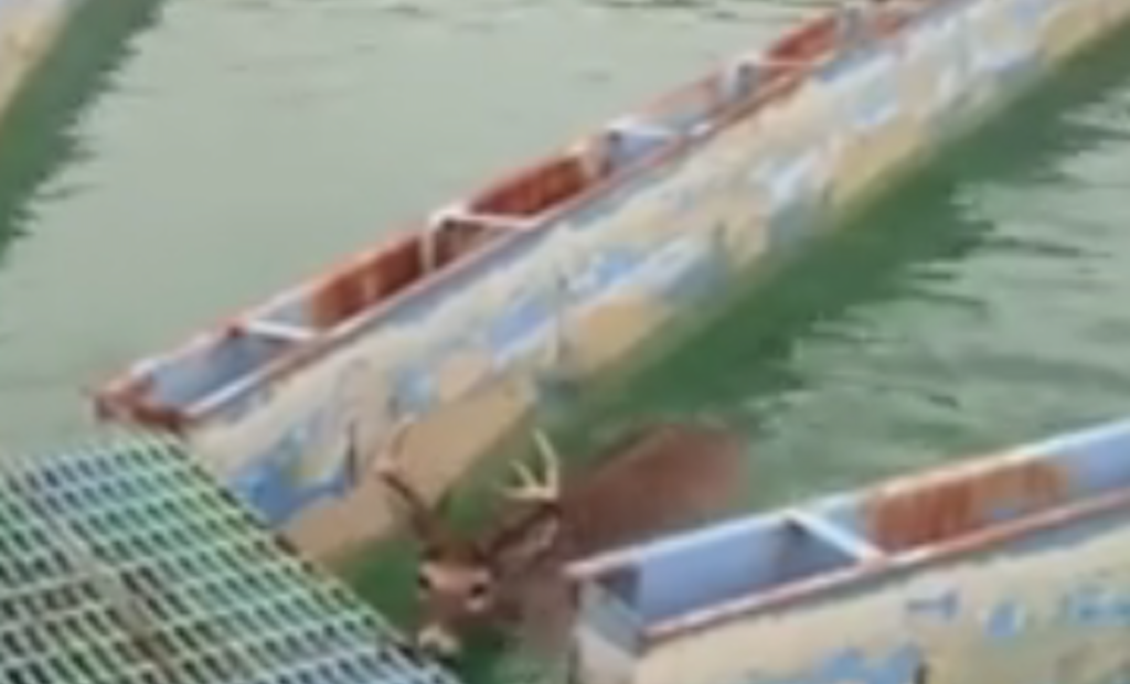 Oh, Deer! 9-Point Buck Rescued From Clarifier